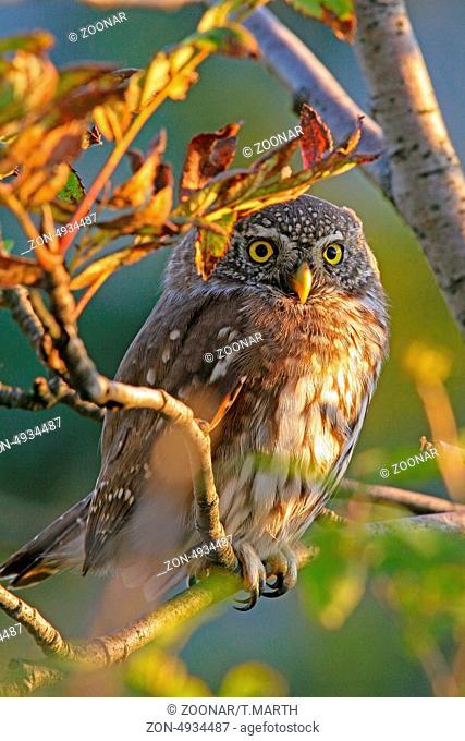 Eurasian pygmy owl