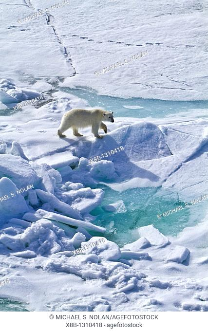 A curious young polar bear Ursus maritimus approaches the National Geographic Explorer along the northwestern coast of Spitsbergen in the Svalbard Archipelago