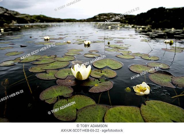 Water lillies in lochan, Outer Hebrides, Scotland