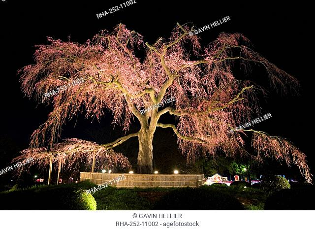 Famous giant weeping cherry tree Sakura in blossom and illuminated at night, Maruyama Park, Kyoto, Kansai region, Honshu, Japan, Asia
