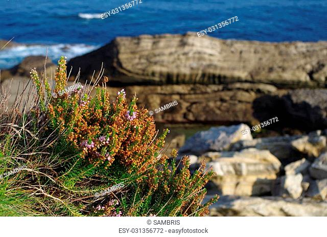 Coastline of Spain, near San Sebastian. The scenic background worked ideal to highlight the flower which grew between the rocks on the cliff