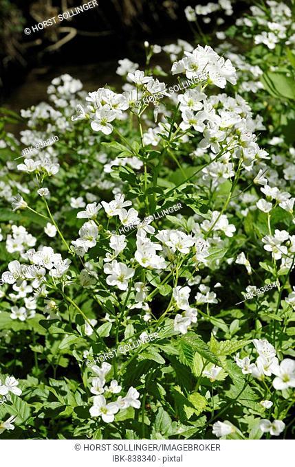 White Watercress blossoms (Nasturtium officinale, Nasturtium microphyllum)
