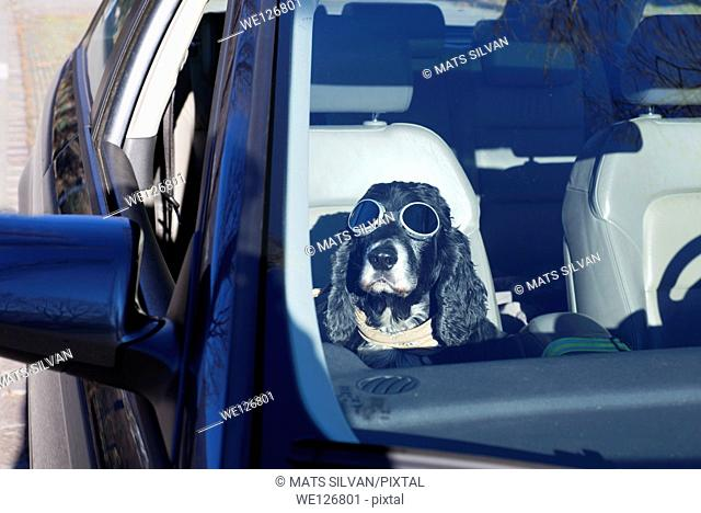 Cocker spaniel dog with sunglasses sitting down inside a car in ticino switzerland