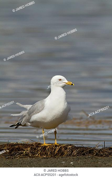 Ring-billed Gull, Larus delawarensis, Washington, USA