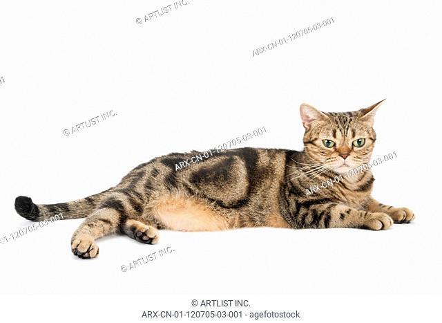 A cat lying down