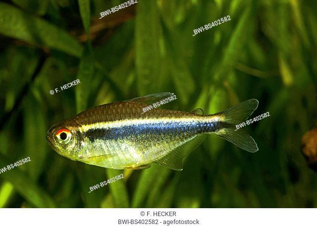 black neon (Hyphessobrycon herbertaxelrodi), swimming