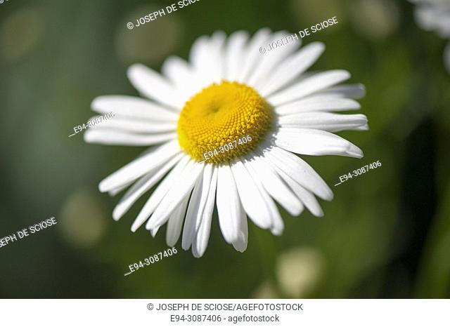 A close-up of a shasta daisy flower in a garden in the springtime