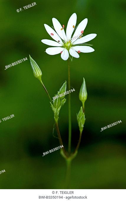 Lesser stitchwort, Little starwort (Stellaria graminea), inflorescence, Germany