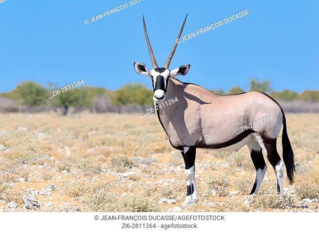 Gemsbok (Oryx gazella), adult male standing on stony ground, Etosha National Park, Namibia, Africa