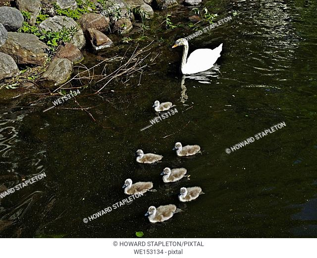 Seven baby swans, cygnets, and an adult Mute swan (Cygnus olor) in a canal near central Stockholm, Sweden