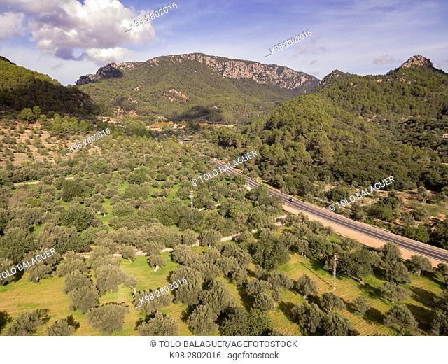 Olive trees, Alqueria d'Avall, Bunyola, Mallorca, balearic islands, spain, europe