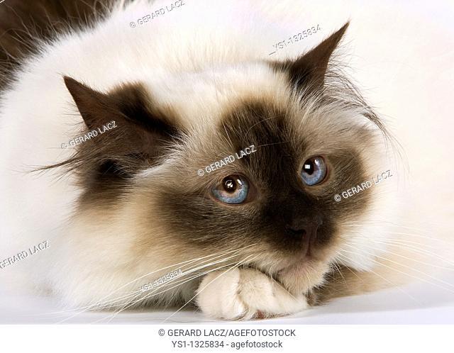 SEAL BIRMANESE CAT