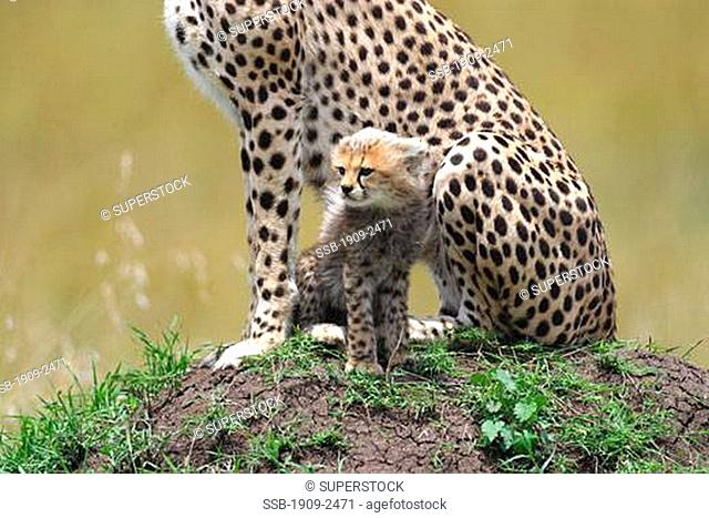 Cheetah mother and young cub in grassland in the Masai Mara Kenya East Africa