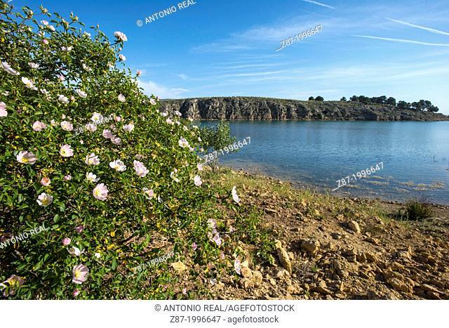 Dog rose (Rosa canina). Reservoir of Almansa, Albacete province, Castilla-La Mancha, Spain