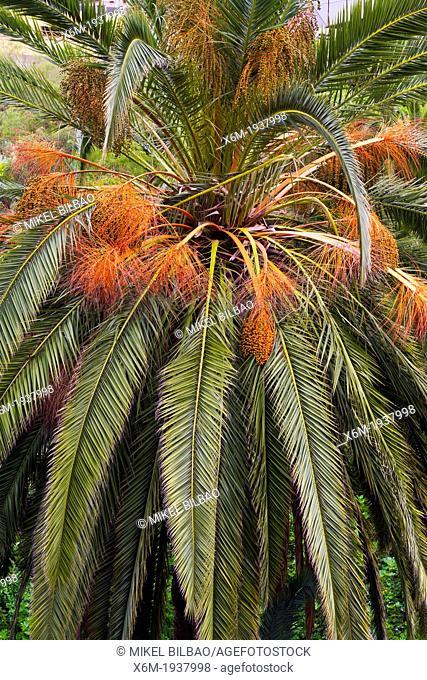 Canary Islands palm (Phoenix canariensis). Icod de los Vinos. Tenerife, Canary Islands, Spain