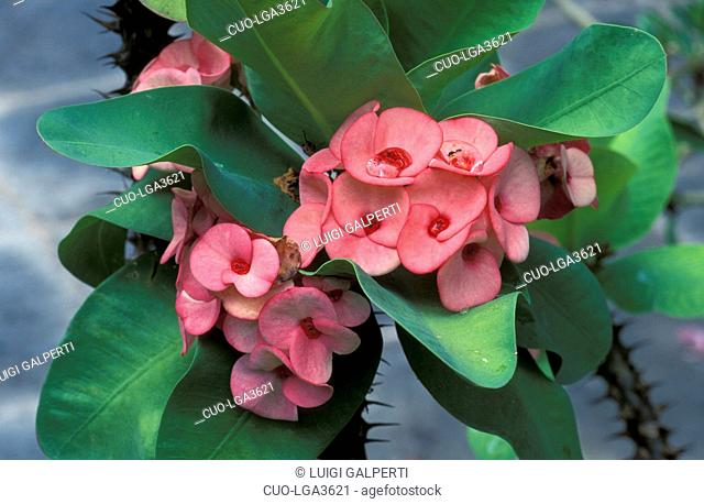 Euphorbia Milii, Italy