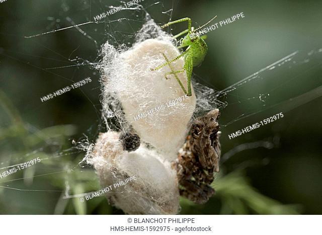 Portugal, Alentejo, Arraiolos, Araneae, Araneidae, Tent-Web Spider (Cyrtophora citricola), female protecting its cocoons