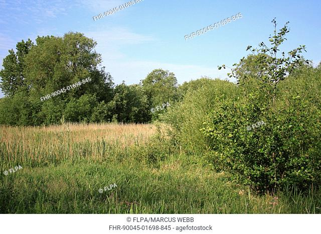 View of wet woodland at edge of reedbed habitat, Little Ouse Headwaters Project, Bettys Fen, Blo Norton, Little Ouse Valley, Norfolk, England, june
