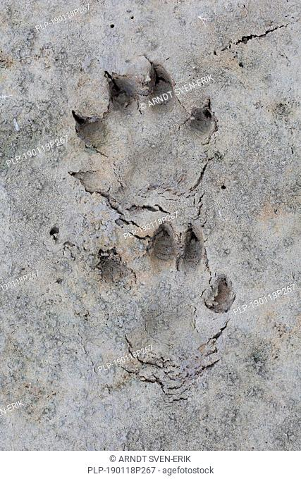 Raccoon dog / racoon dog (Nyctereutes procyonoides) close-up of footprints in wet sand / mud