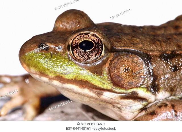 Close-up of a Green Frog (Rana clamitans) on a white background