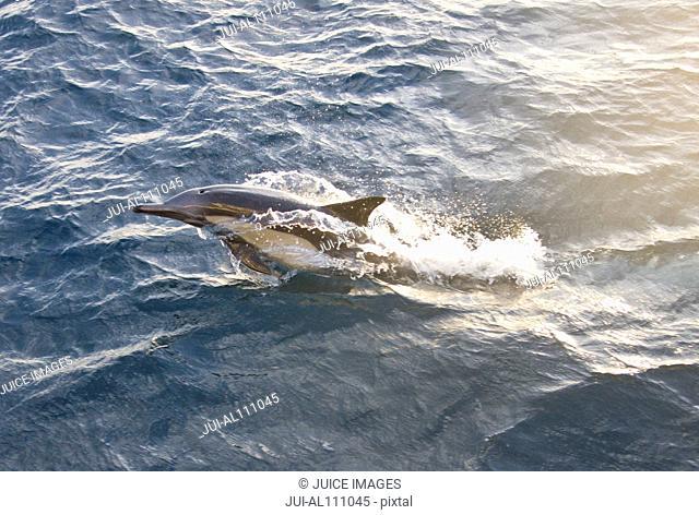 Long Beaked Common Dolphin, Bahia Magdalena, Baja California Sur, Mexico