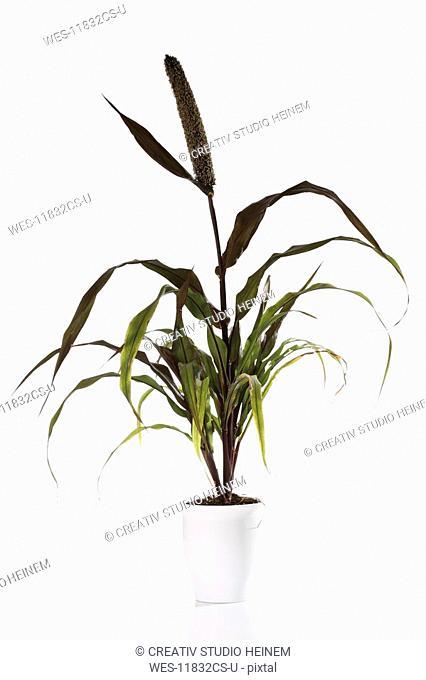 Pearl Millet Pennisetum glaucum in flower pot