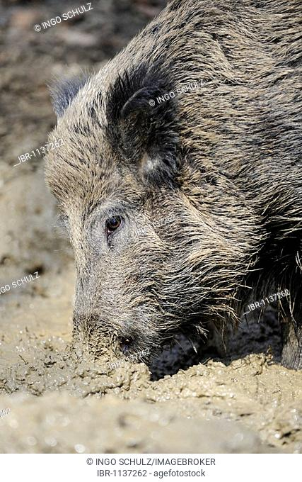 Wild boar (Sus scrofa) taking a mud-bath