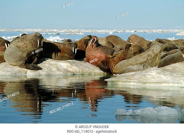 Atlantic Walruses on ice floe Baffin Island Nunavut Territory Canada Odobenus rosmarus