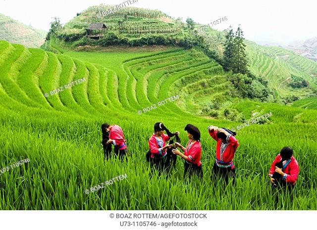 Colorful Yao women working in the paddy fields of LongJi, Guangxi, China
