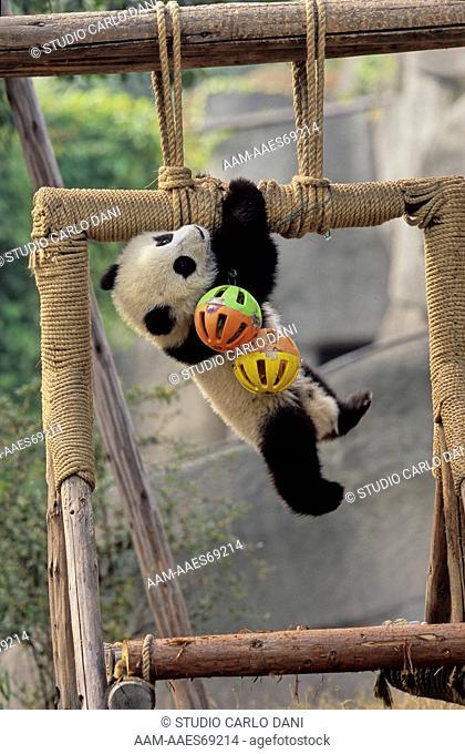 Giant Panda (Ailuropoda Melanoleuca) Baby, Chengdu Research Base, Sichuan, China