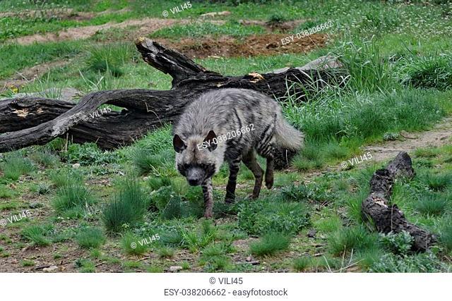 Striped hyena in front of yard, zoo Sofia, Bulgaria