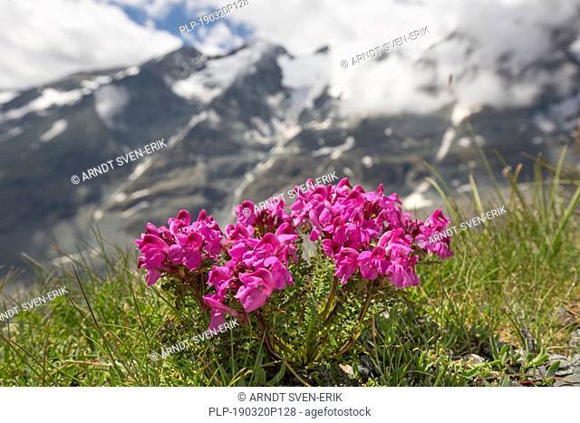 Long-nosed lousewort (Pedicularis rostratocapitata / Pedicularis rostrato-capitata) in flower in summer, Hohe Tauern National Park, Carinthia, Austria