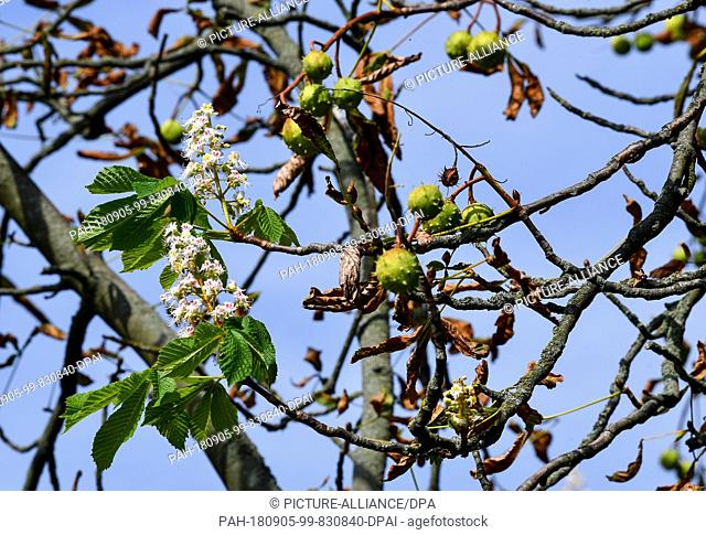 """04.09.2018, Brandenburg, Neuruppin: A chestnut tree shows both damaged leaves and typical autumn fruits, as well as a new shoot called """"""""emergency blossom"""""""""""