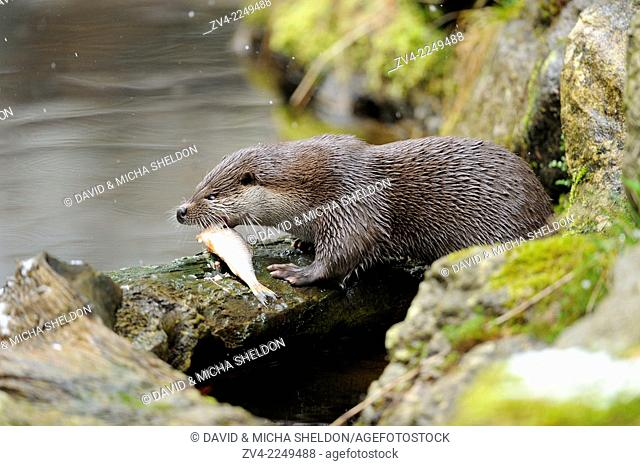 Close-up of a European otter (Lutra lutra) on a rock in spring