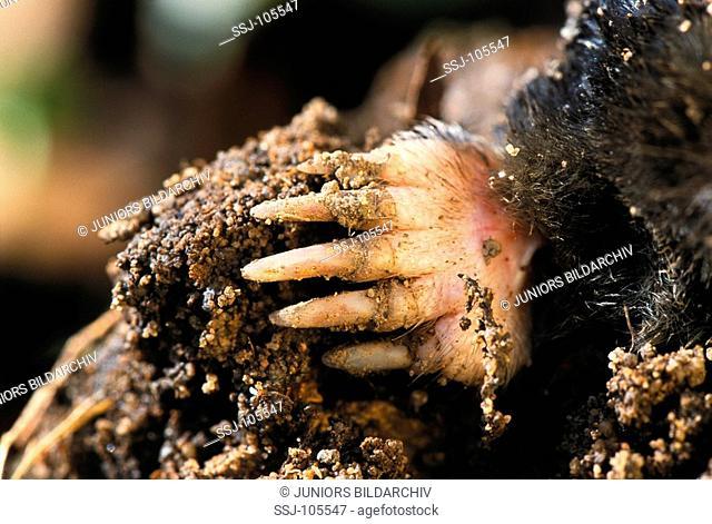 European mole / talpa europaea