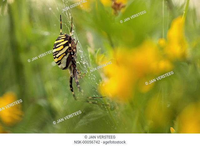 One female Wasp Spider (Argiope bruennichi) waiting on a web in a flowering meadow, the Netherlands, Gelderland, Fikkersdries