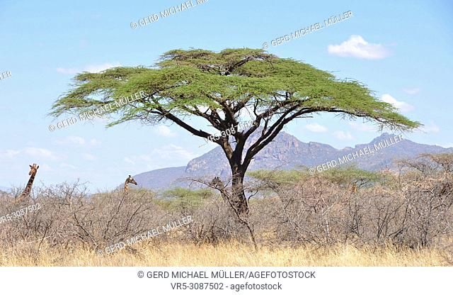 Kenya: Girafs looking above the bushes in Shaba and Samburu National Parks wilderness