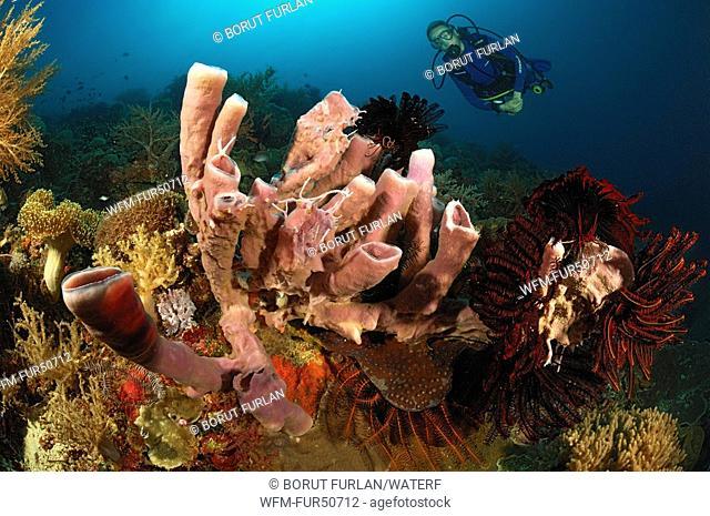 Tube Sponges and Diver, Porifera, Alor, Lesser Sunda Islands, Indo-Pacific, Indonesia