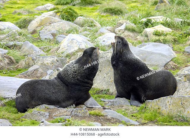 Northern Fur Seal, Callorhinus ursinus, largest seal rookery in the world, St. Paul, Pribilof Islands, Alaska, USA, Am