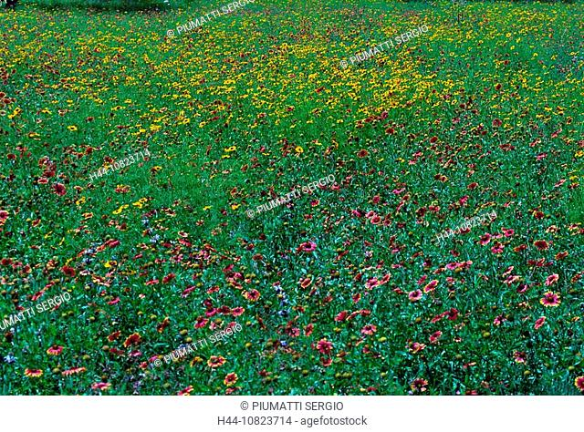 flowers, flower meadow, meadow, blossoming, USA, America, North America, Texas, Hill Country, girl eye, Coreopsis tinc