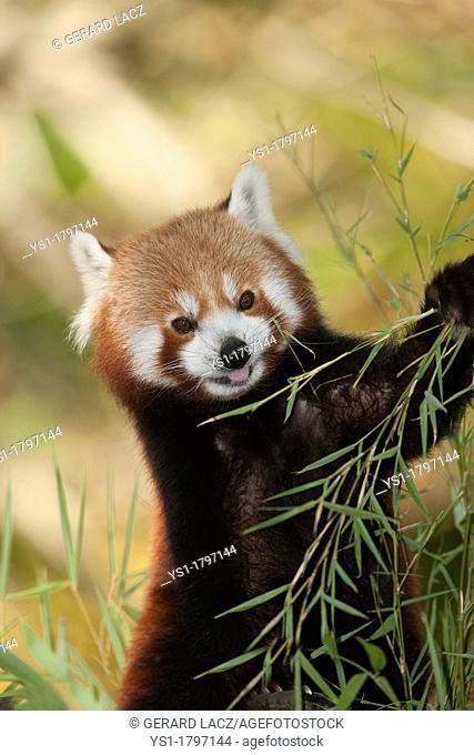Red Panda, ailurus fulgens, Adult eating Bamboo's Leaves