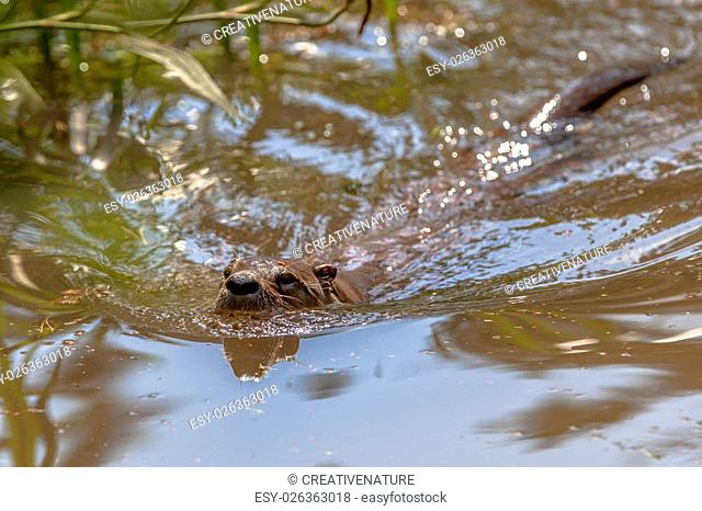 Adult European Otter (lutra lutra) swimming in a river and looking for fish to feed on