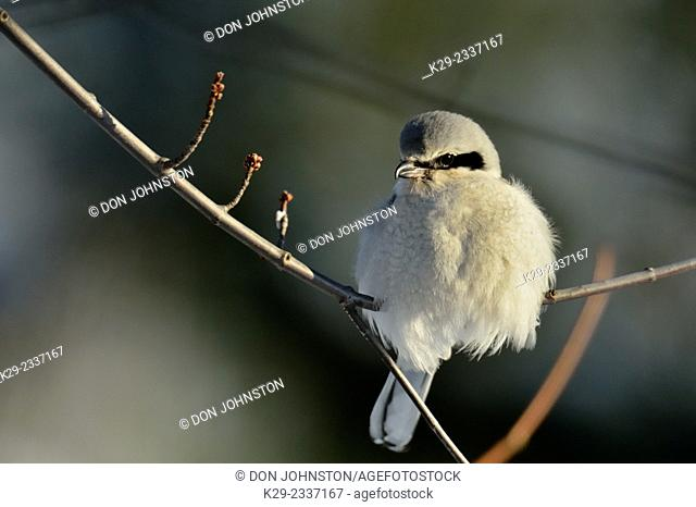 Great Grey Shrike, Northern Grey Shrike, or Northern Shrike (Lanius excubitor) , Greater Sudbury (Lively), Ontario, Canada