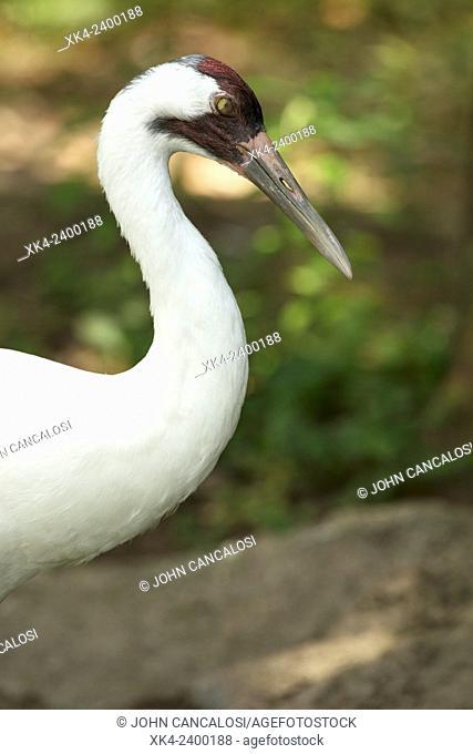 Whooping Crane (Grus americana), endangered species, captive, showing nictitating membrane