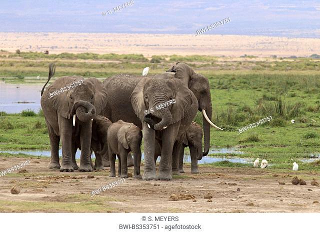 African elephant (Loxodonta africana), herd of elephants at a waterhole, Kenya, Amboseli National Park