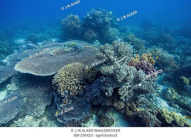 Stony coral Acropora hyacinthus, Philippines, Pacific Ocean
