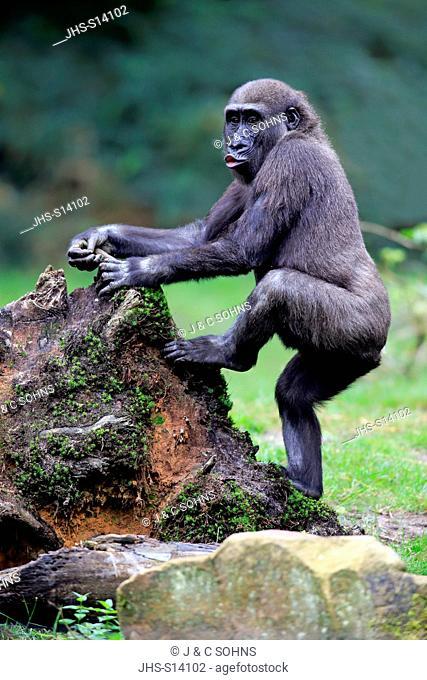 Lowland Gorilla, (Gorilla gorilla), young making grimace, Africa
