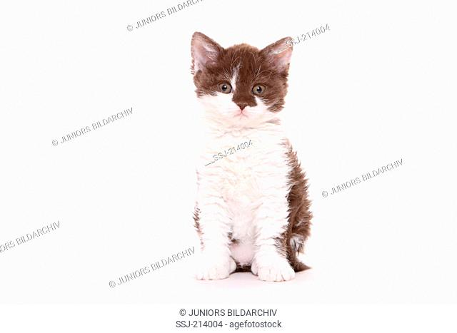 Selkirk Rex. Kitten sitting. Studio picture against a white background. Germany