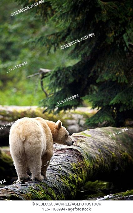 North America, Canada, British Columbia, Princess Royal Island, Great Bear Rainforest  Kermode Black Bear