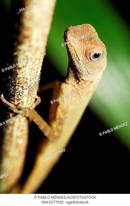 Dusky Earless Agama (Aphaniotis fusca) on branch in Taman Negara national park, Pahang, Malaysia